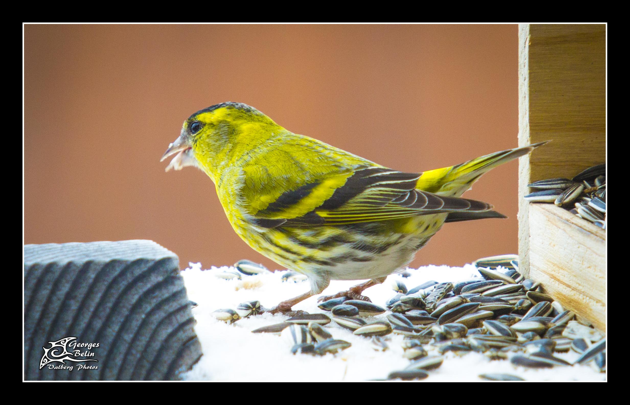 Oiseaux des jardins - Chalet Sainte-Marie - Refuge LPO