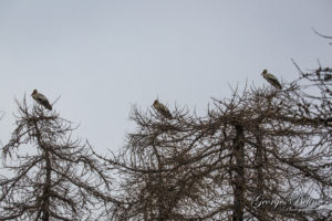 Cigognes sur Valberg - Photo Georges Belin - Photographe