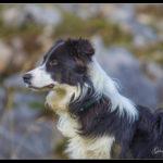 Les chiens de défense