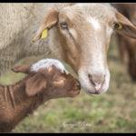 Agneaux, les naissances